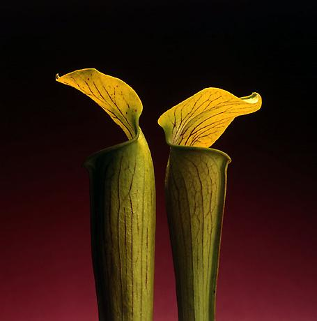 Double Jack in the Pulpit, (1988) @Robert Mapplethorpe Foundation